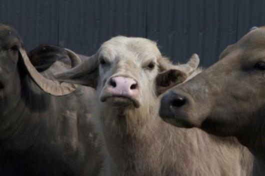 bull-bestiaire
