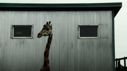giraffe-bestiaire