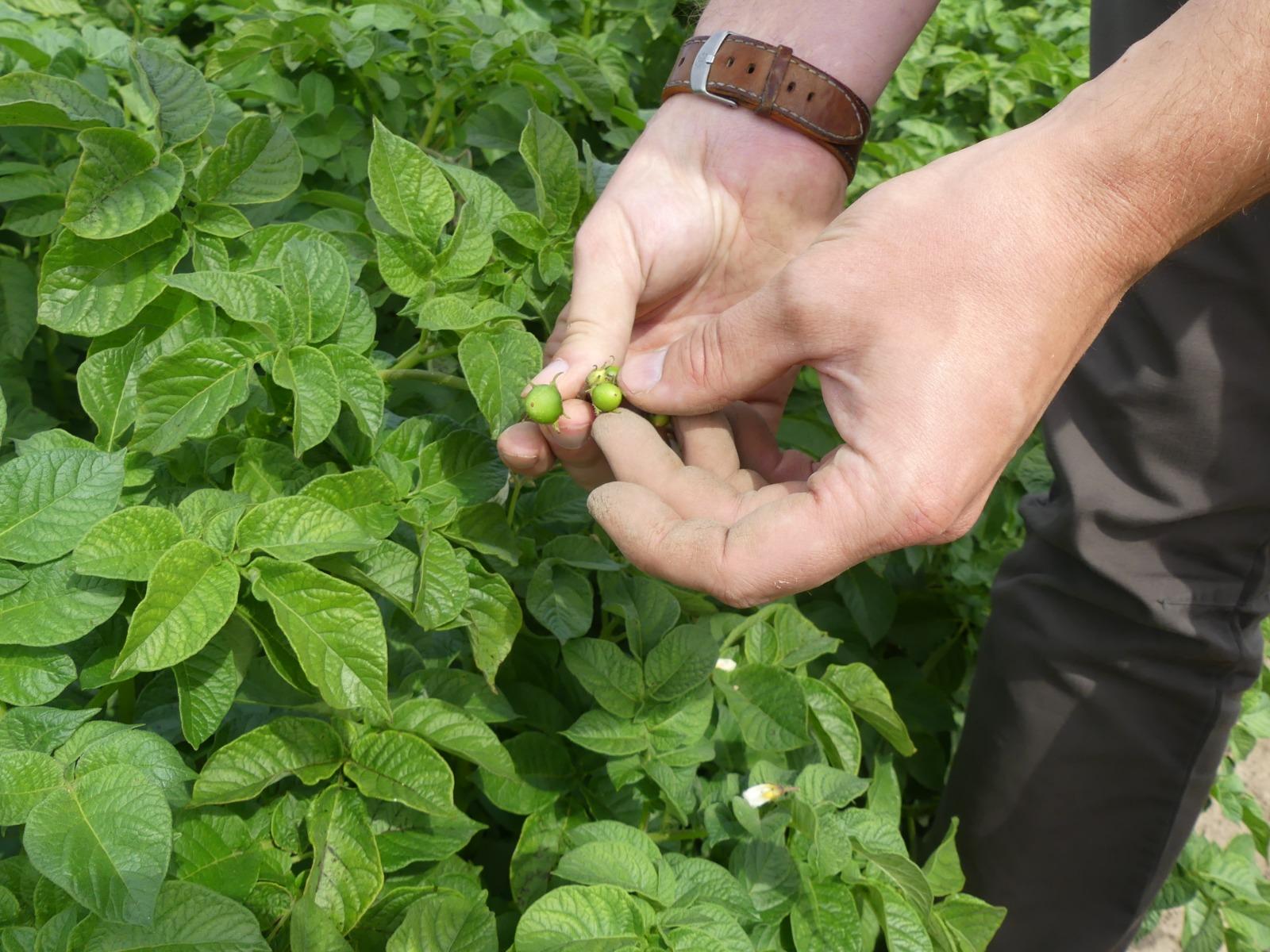 culture de pommes de terre