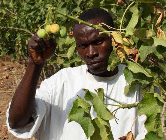 Image for Biodiesel für Europa: Ansturm auf das grüne Gold im Senegal