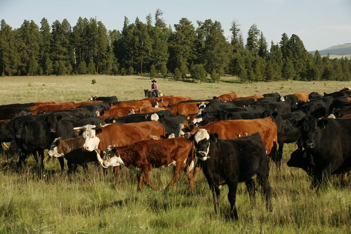 Image for Livestock: the biggestthreat to ourplanet?