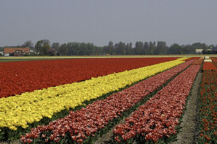 Image for Quando i tulipani diventano pericolosi