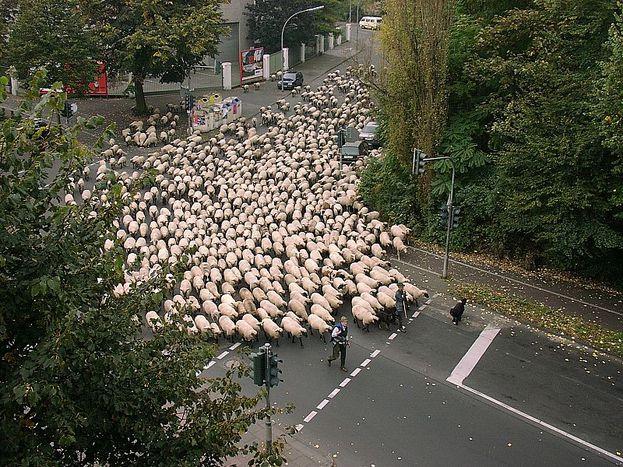 Image for Européennes :L'homme qui murmurait à l'oreille des moutons