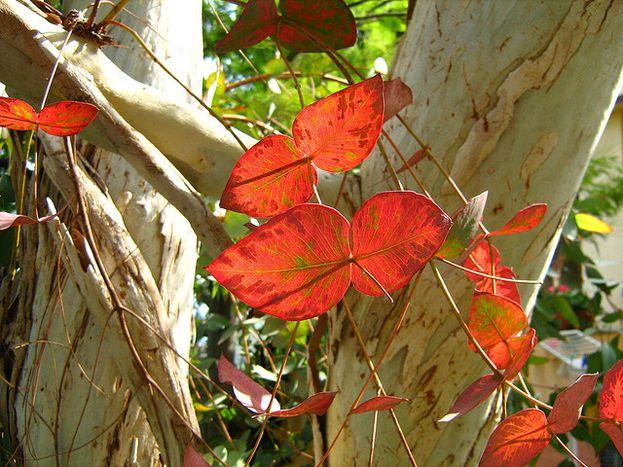 Image for Auf den Spuren des roten Eukalyptus