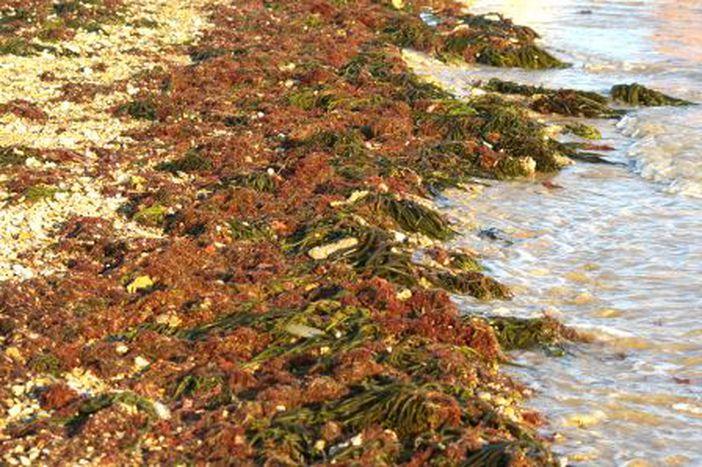 Image for Algas, la verdura del mar en la mesa