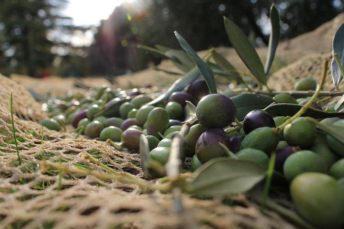 Image for L'autunno in Toscana: tempo di raccolta. Come lavorare in campagna