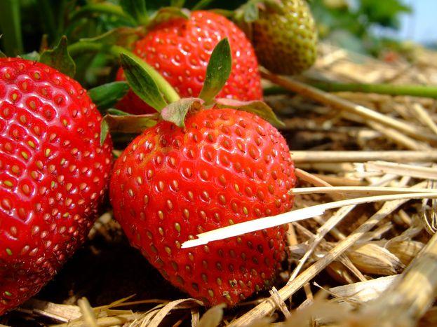 Image for En Espagne, on ne ramène plus sa fraise
