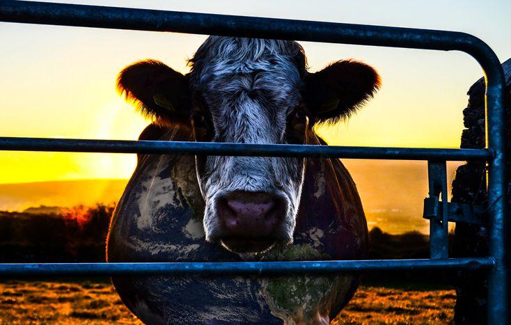 Image for Cowspiracy: Verheerende Viehzucht