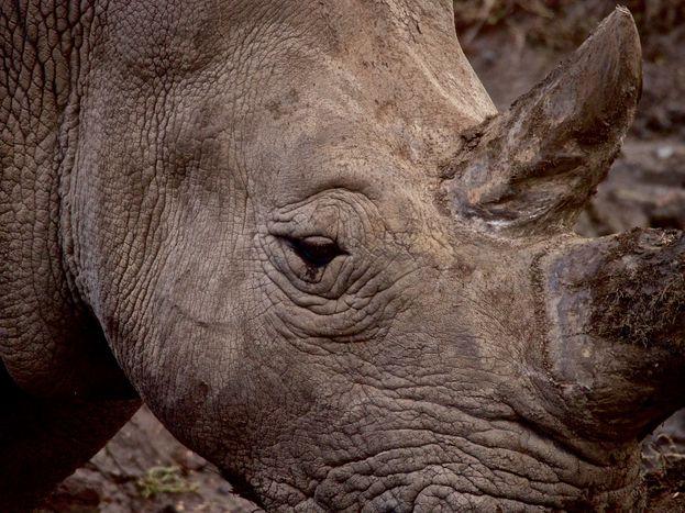 Image for Sommes-nous tous des rhinocéros?