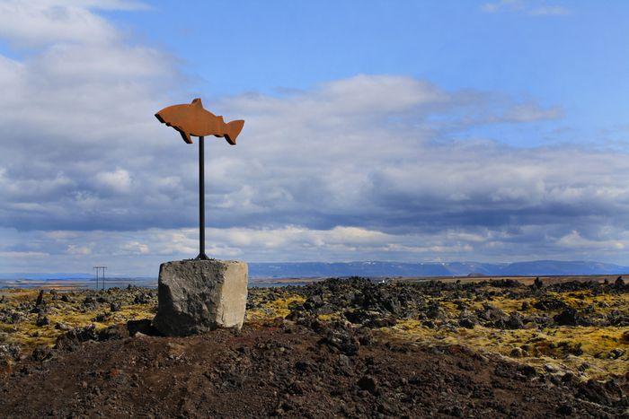 Image for Hákarl – będąc w Islandii, jedz to, czego Islandczycy nie jedzą